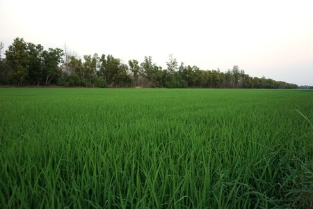 closeup young rice field for background used photo