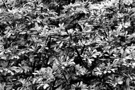 chrismas: abstract black and white leaves of Chrismas tree Stock Photo