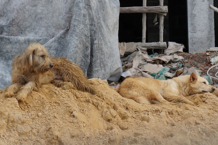 two sad Thai local dogs on sand pile construction photo