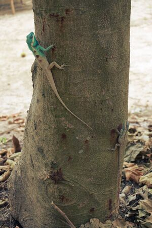 crested gecko: A male blue-crested Lizard in the orchard in Thailand.