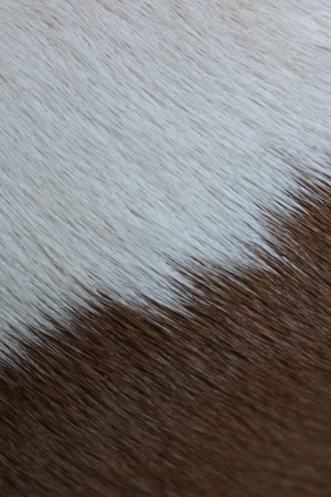 fleece: close up white and brown animal hair for background used