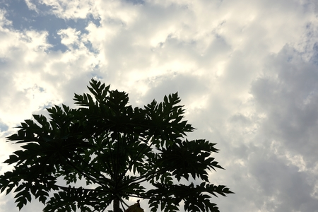 tropical tree: abstract of papaya tree with cloud for background used