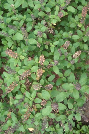 thai basil: field of Thai basil flower in the garden Stock Photo