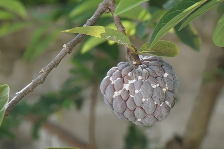 bustle: group of white plant louse on fruit in purple custard apple plantation