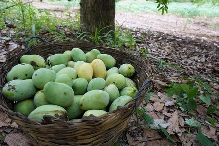 mango oogst in mango plantage in Thailand