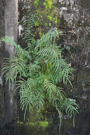 grown up: close up natural of fern grown on wall Stock Photo