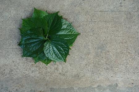 piper: eatable Thai herb in Piper sarmentosum leaf Stock Photo