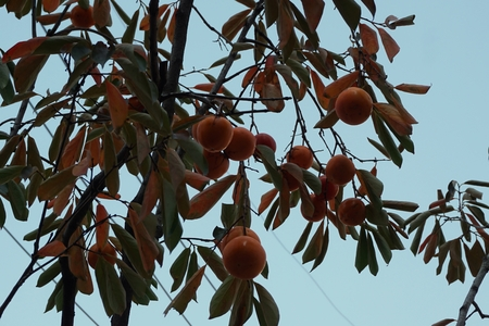 persimmon tree: close up persimmon tree in the Seoul city