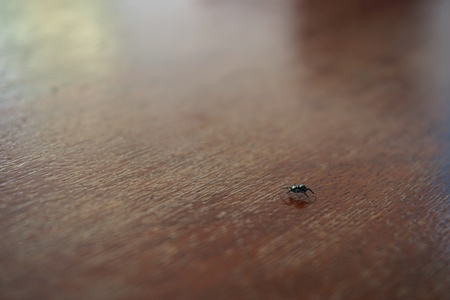 wood spider: tiny black and green spider on wood table top