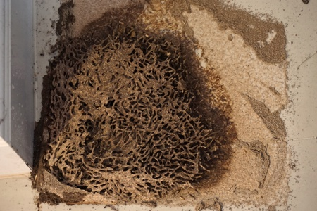 home destruction: close up termite nests destroy furniture in house Stock Photo