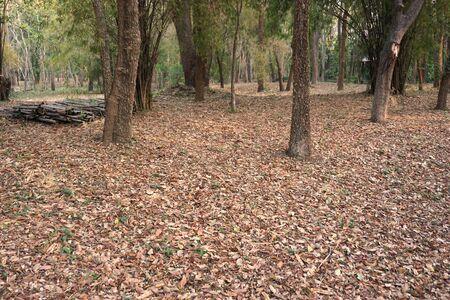 hojas secas: Tailandia Bosque en la estación seca con lleno de hojas secas en el suelo