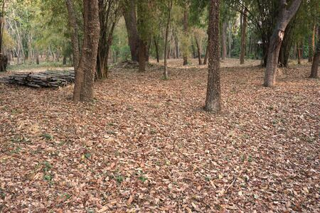 dry leaves: Thailand forest in dry season with full of dry leaf on ground