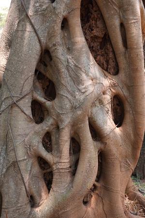 strangler: close up Strangler fig in the tropical garden