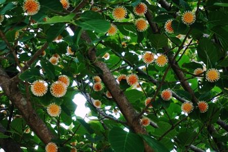 thai herb: Thai herb tree flower in RUBIACEAE family