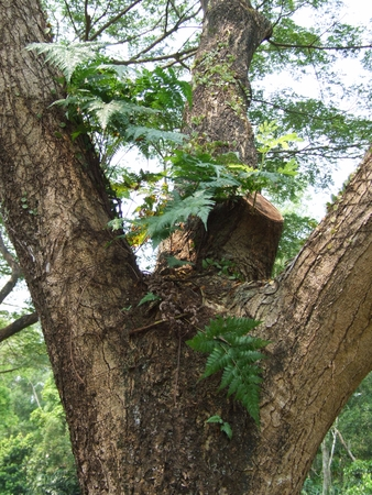 Davallia fern attach on tree in rain forest Stock Photo