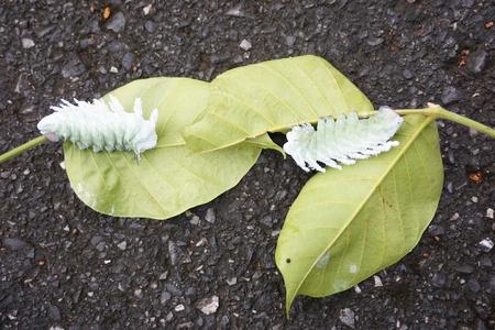 worm of Atlas moth in the Santol tree plantation