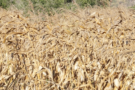 close up dry corn filed in plantation