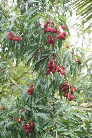 Lychee fruit on tree in plantation of Thailand