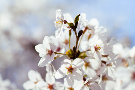Cherry Blossoms at Tidal Basin, Washington DC., USA.