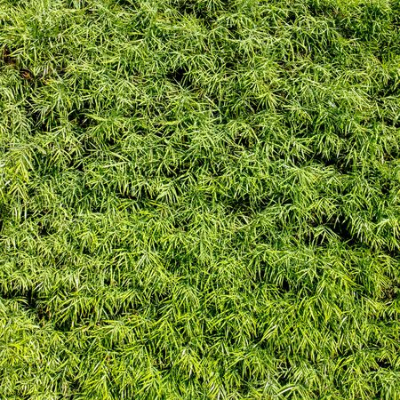 ivy wall: Green wall with ivy. Stock Photo