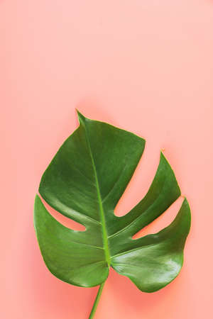 Monstera leafs lay on pink background. Summer background concept.
