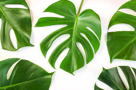 Monstera leafs lay on white background. Summer background concept.