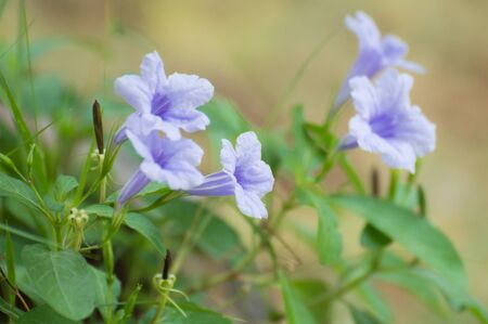 popping: minnieroot flowers, popping pod flowers Stock Photo