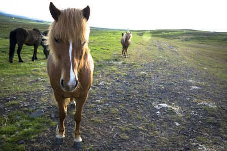icelandic: Icelandic horse staring. Icelandic horse is endemic to the region of Iceland.