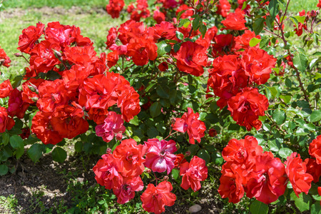 ornamental garden: Natural red roses in an ornamental garden