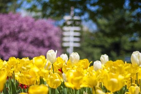 White and yellow tulips Standard-Bild