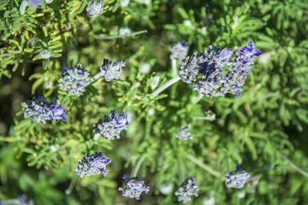 lavandula: Close up view of a lavender field - Lavandula dentata Stock Photo