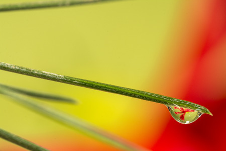 Close up of drops on green pine needles with n specular flower image inside. Stock Photo