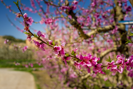 sensations: Blossoming peach tree in Aitona, a beautiful town in Catalonia, Spain. Flowers sprout during the spring and the landscape is transformed. The fields flowered transmit sensations positive and of hope.