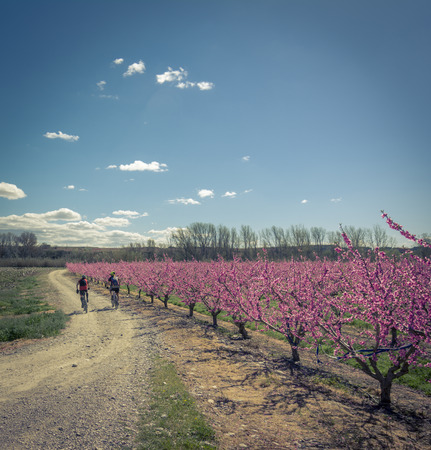 sensations: Two cyclists on the road and blossoming peach tree in Aitona, a beautiful town in Catalonia, Spain. Flowers sprout during the spring and the landscape is transformed. The fields flowered transmit sensations positive and of hope. Stock Photo
