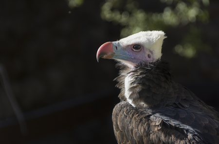 The white-headed vulture or Trigonoceps occipitalis is an Old World vulture endemic to Africa. Populations have been declining steeply in recent years