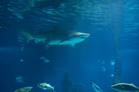 aquaria: Sand Tiger Shark Carcharias taurus , dangerous fish floating the special tank of Aquarium in Barcelona Stock Photo