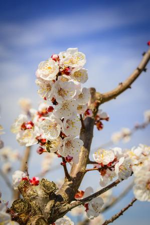 Bee flying near a apricot tree flower