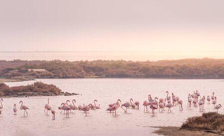 Greater flamingo group at Ebro Delta Natural Park.