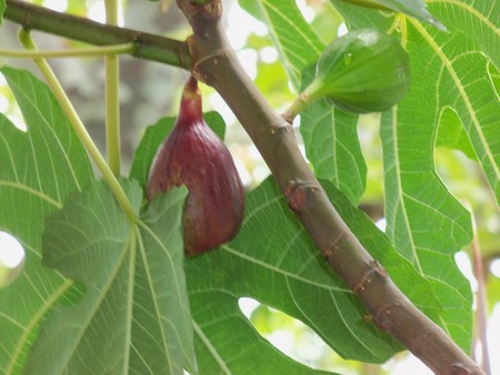 A ripened fig in a fig tree