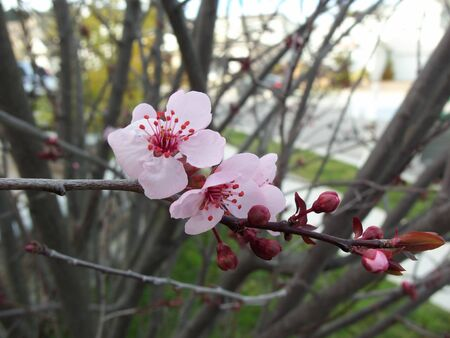 A flowering plum tree
