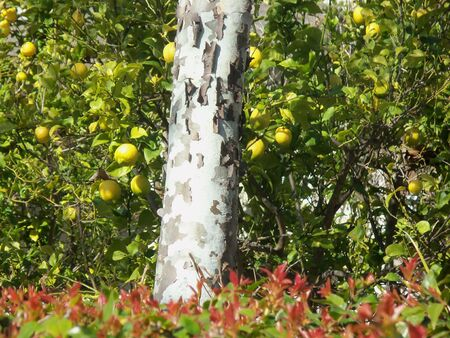 Lemons growing on trees