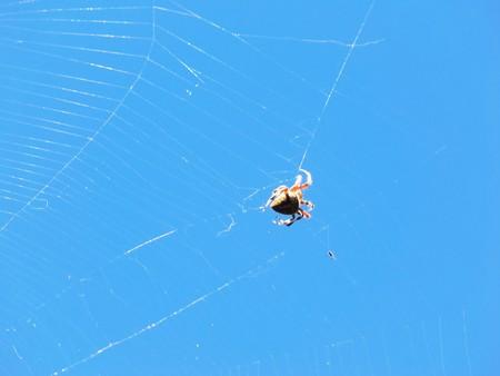 aracnidos: Una ara�a se aferra a una banda