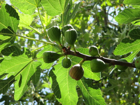 Figs growing on a fig tree