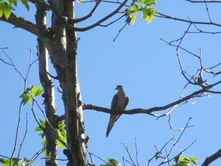 A dove in a tree photo