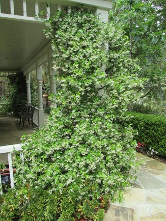Jasmine growing on a porch column Stok Fotoğraf