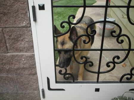 shepard: A German Shepard looking out of a gate Stock Photo