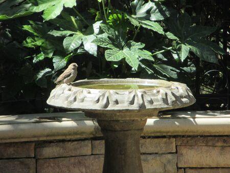 savannah: A Savannah sparrow on a stone birdbath