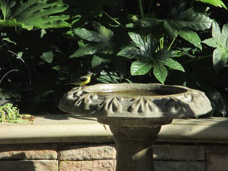 warbler: A yellow breasted warbler on a stone birdbath Stock Photo