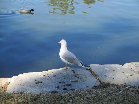 lakeshore: A Western gull along a lakeshore Stock Photo