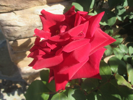 large: A large red rose